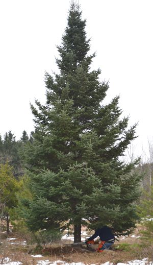 Minnesota governor's residence Christmas Tree   Lake Superior News