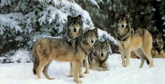 Minnesota Wolves   Lake Superior News