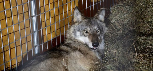 Wolf ready for plane ride  Isle Royale  Lake Superior News